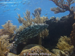 Florida Keys Grouper by Timothy Phillips
